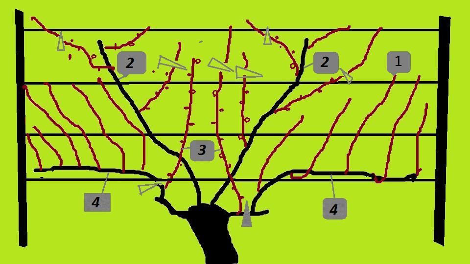Об осенней обрезке винограда