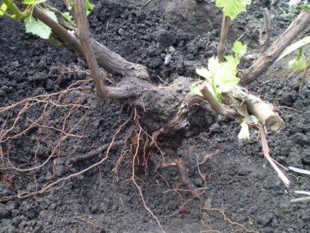 Строение куста винограда, как обрезать виноград осенью.