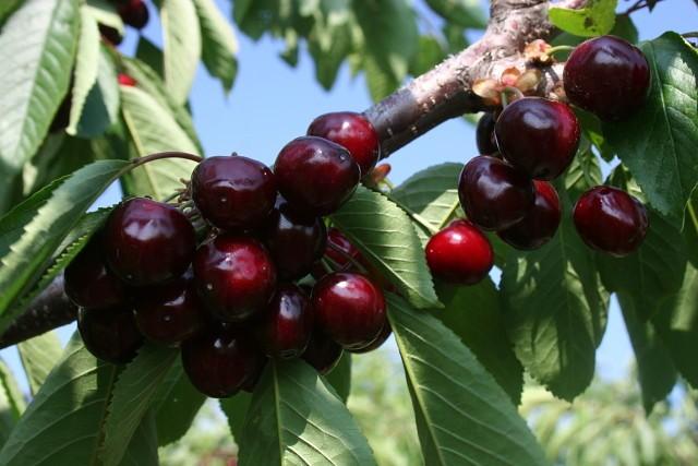 Удобряем косточковые деревья — вишню, сливу и черешню.