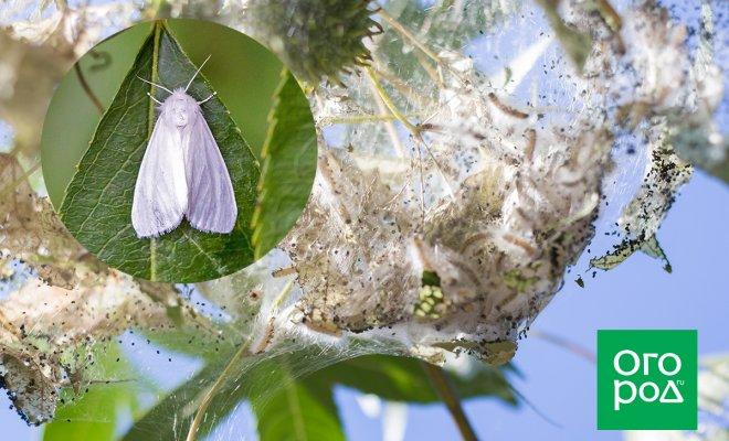 Как избавиться от американской белой бабочки